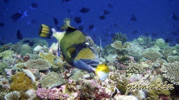 wpid-Triggerfish-2011-01-27-00-166.jpg