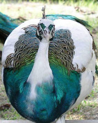 wpid-PeacockCloseUp1-2005-05-24-00-36.jpg
