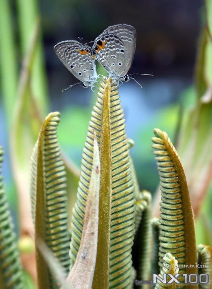 wpid-MatingButterflies-2011-08-23-15-06.jpg